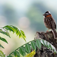 Rufous-Collared Sparrow(Pinche) - Fabio Alberto Aristizábal Correa