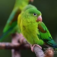 Brotogeris jugularis (Periquito broncíneo) - Alejandro Bayer