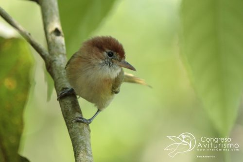 Aves Caldas Manizales Fabio Arias 06